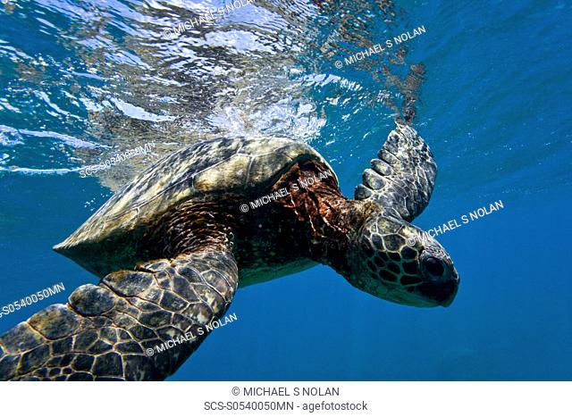 Green sea turtle Chelonia mydas at cleaning station at Olowalu Reef on the west side of the island of Maui, Hawaii, USA The range of this species extends...