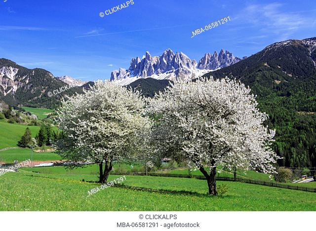 The Odle in background enhanced by flowering trees, Funes Valley, South Tyrol Dolomites Italy Europe