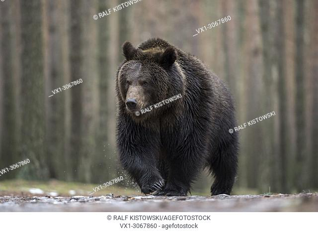 European Brown Bear ( Ursus arctos ) walking through an ice covered puddle, frontal shot, low point of view