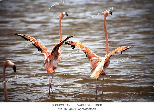 A couple of pink flamingos opening their wings in Celestun on Mexico's Yucatan peninsula, June 21, 2009