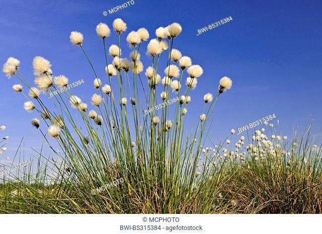 tussock cotton-grass, hare's-tail cottongrass (Eriophorum vaginatum), infructescences, Germany, Lower Saxony