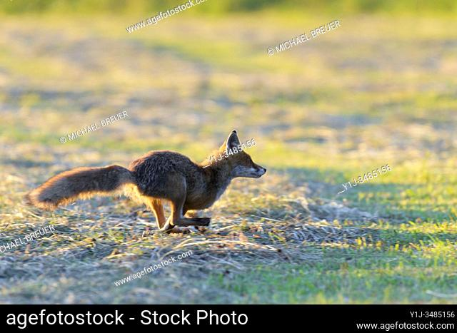 Running red fox (Vulpes vulpes) on meadow, Hesse, Germany, Europe
