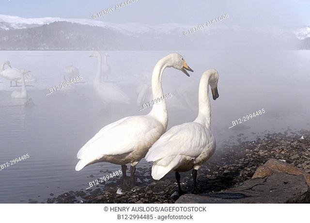 Whooper swan (Cygnus cygnus) couple in the mist, Japan