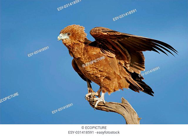 Young, immature bateleur eagle (Terathopius ecaudatus) on a branch, Kalhari desert, South Africa
