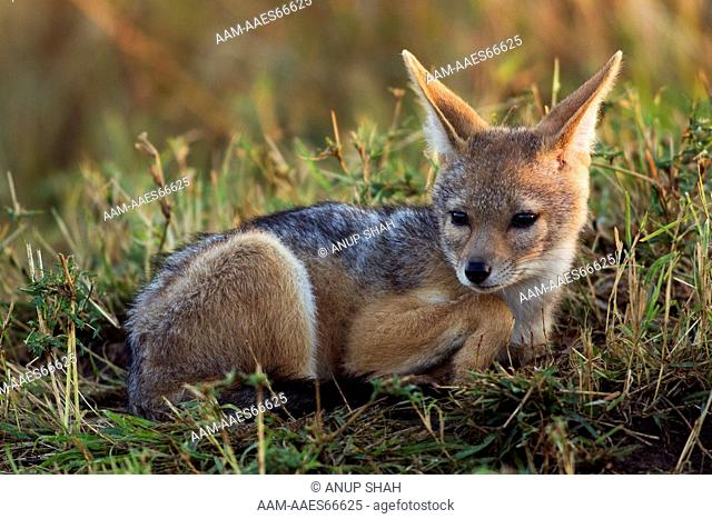 Black-backed Jackal pup portrait (Canis mesomelas). Maasai Mara National Reserve, Kenya. Sep 2008