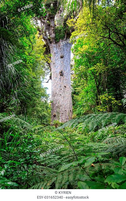 Tane Mahuta, the lord of the forest: one of the largest Kauri trees in Waipoua Kauri forest in New Zealand