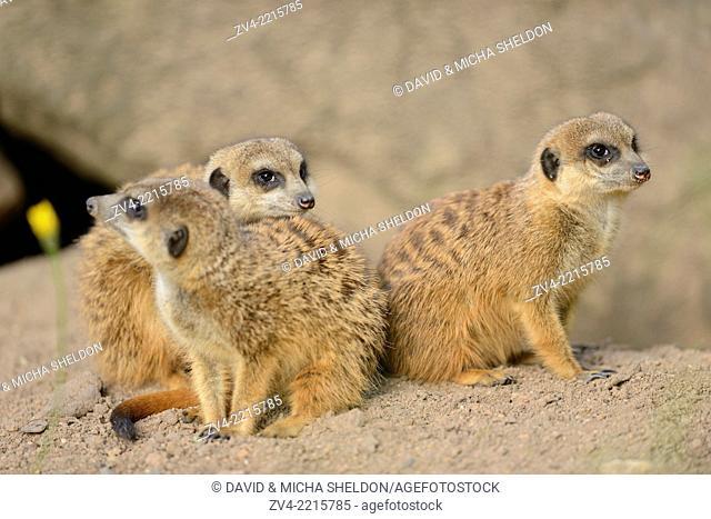 Close-up of a group of meerkat or suricate (Suricata suricatta) in spring