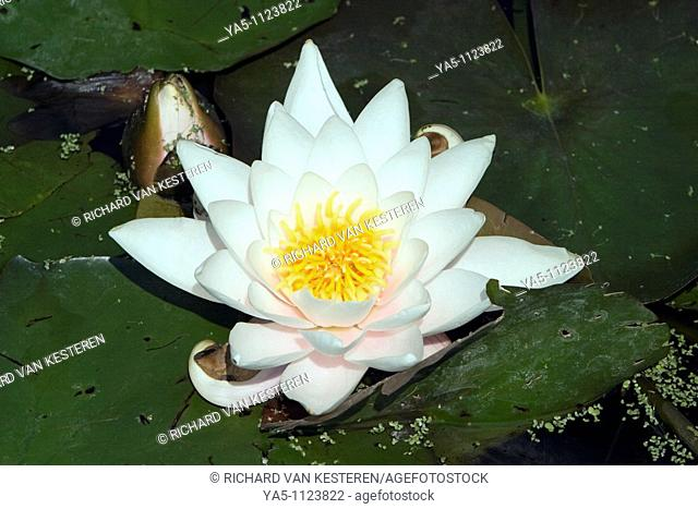 Nymphaea odorata, water lily