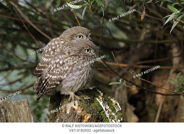 Little Owl / Owls( Athene noctua ), cute offspring, two chicks, siblings, perched together on a pollard willow.