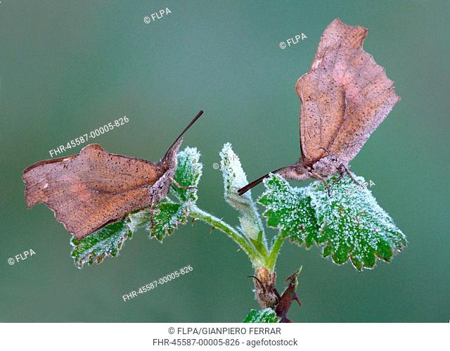 Nettle-tree Butterfly Libythea celtis two adults, roosting on bramble leaves with early morning frost, Peloponesos, Southern Greece, april