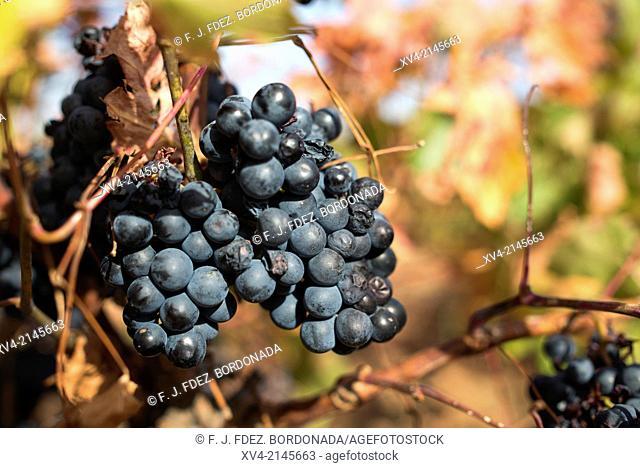 Vineyards of Cariñena in autumn, Aragon, Spain