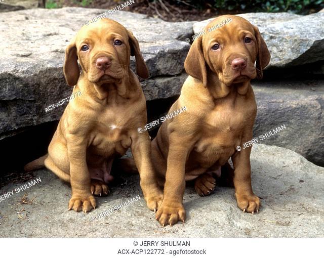 2 Vizsla Puppies sitting on rocks side by each, facing forward