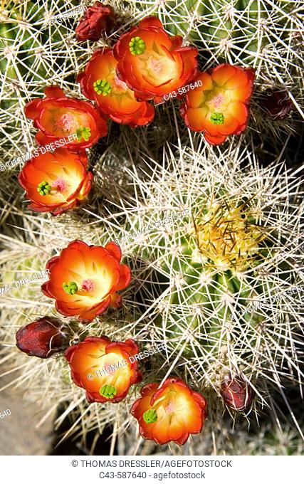 Claret Cup Cactus (Echinocereus triglochidiatus). Found in the low-lying areas of Zion. Blooms from April to July; photographed mid April