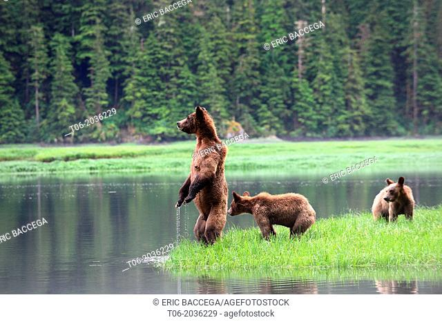 A female grizzli bear (Ursus arctos horribilis) and her two cubs watching warily across the water, toward the opposite bank where they would like to swim