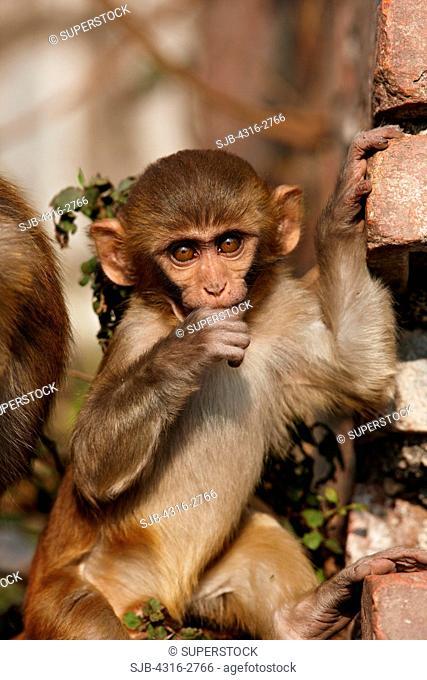 A baby monkey at the Swayambhunath Stupa, or Monkey Temple, Kathmandu, Nepal