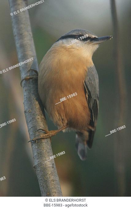 European nuthatch sitting on a branch