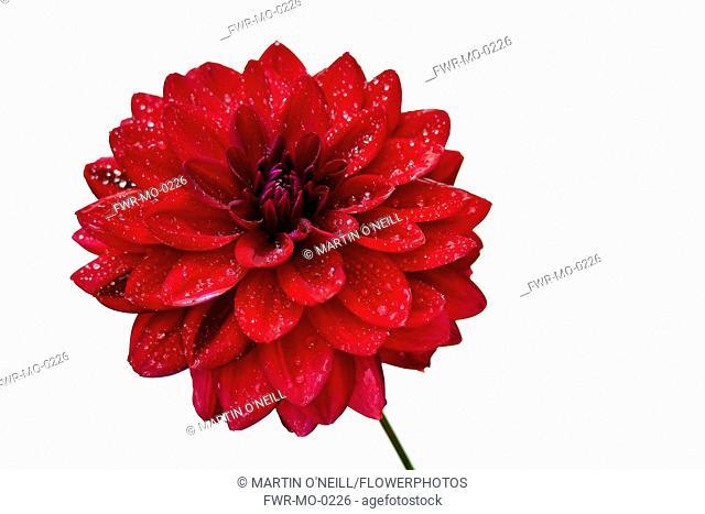 Dahlia, Close up studio shot of single red coloured flower.-