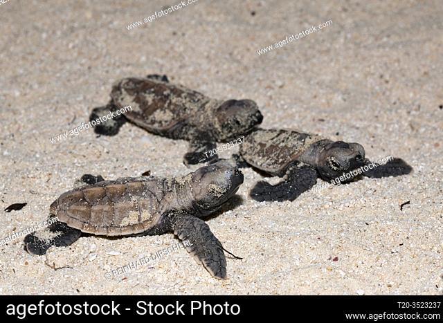 Hawksbill Sea Turtle hatchlings, Eretmochelys imbricata, New Ireland, Papua New Guinea