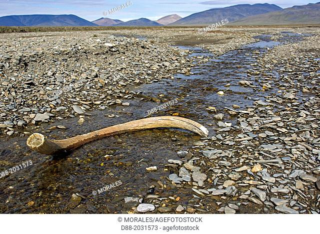 Russia , Chukotka autonomous district , Wrangel island , Doubtful village , mammoth tusk in the bed of the river ( Doubtful river )