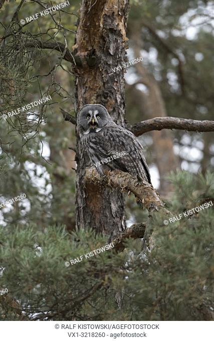 Great Grey Owl / Bartkauz ( Strix nebulosa ), adult bird of prey, perched in a conifer, pine tree, well camouflaged, calling