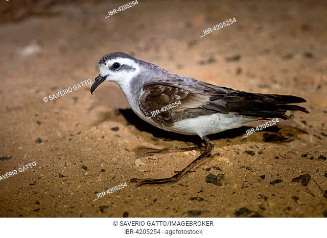 White-faced Storm Petrel or Frigate Petrel (Pelagodroma marina), adult perched on ground, Boavista, Cape Verde