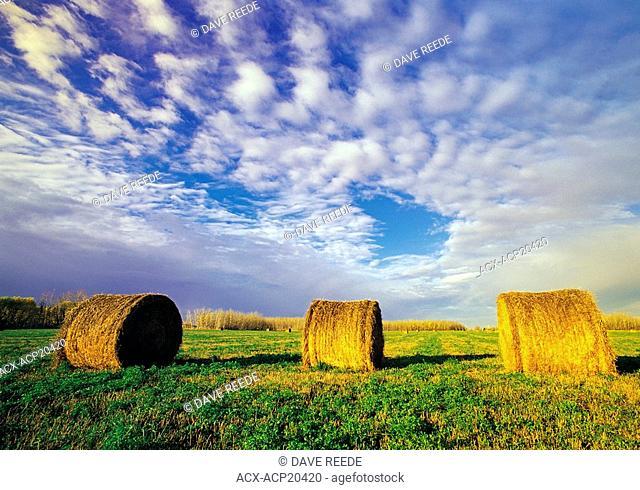 Bales in alfalfa field near Winnipeg, Manitoba, Canada
