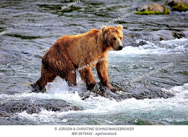 Grizzly Bear (Ursus arctos horribilis) adult, foraging in the water, Brooks River, Katmai National Park and Preserve, Alaska, United States
