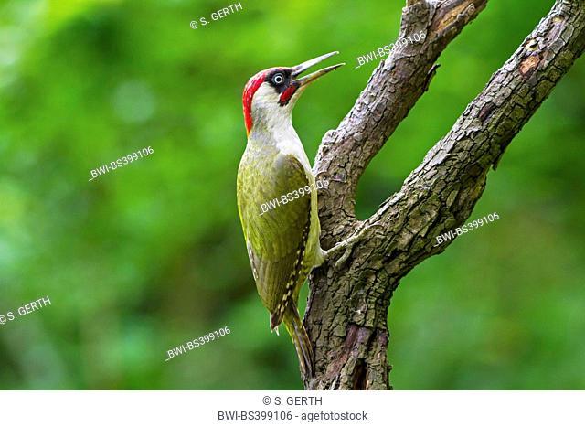 green woodpecker (Picus viridis), sits on an old tree trunk calling, Switzerland, Sankt Gallen