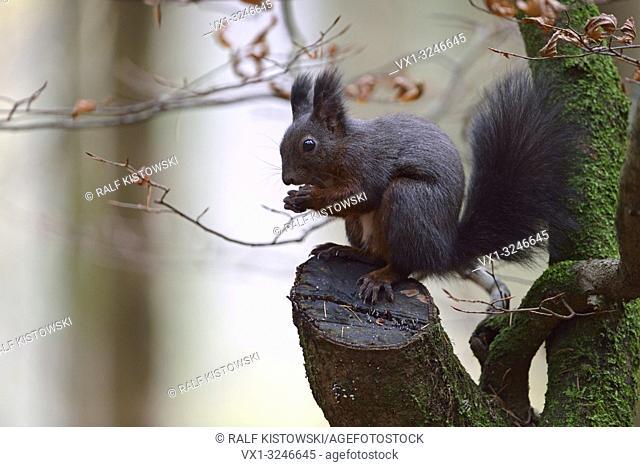 Red Squirrel / Europaeisches Eichhörnchen ( Sciurus vulgaris ), sitting in a tree, feeding on seeds, wildlife, Europe.