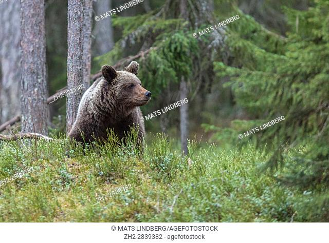 Brown bear, Ursus arctos, sitting down in forest looking at side beyond camera, Kuhmo, Finland