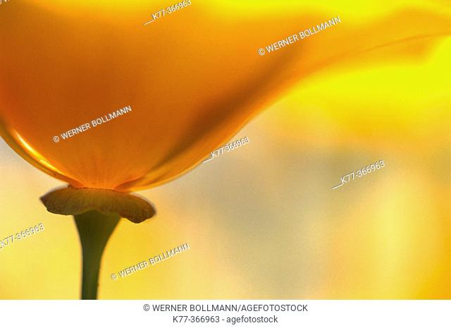 Golden poppy (Eschscholzia californica). San Diego. California. USA