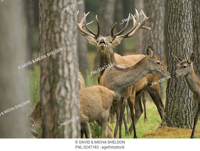 Red Deers Cervus elaphus in a forest, Bavaria, Germany