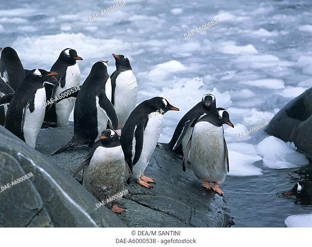 Zoology - Birds - Sfenisciformi - Gentoo Penguins (Pygoscelis papua). Antarctica Goudier Island, Port Lockroy