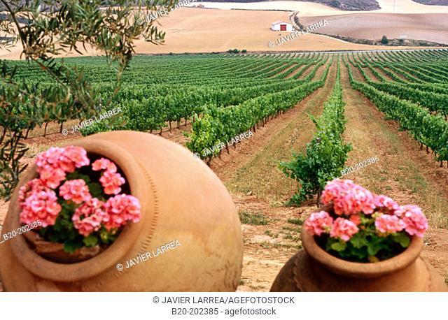 Chardonnay vineyard. Navarra. Spain