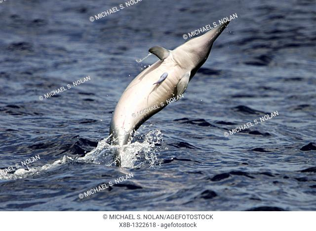 Hawaiian Spinner Dolphin Stenella longirostris 'spinning' perhaps to dislodge the remora on its chest in the AuAu Channel between Maui and Lanai, Hawaii