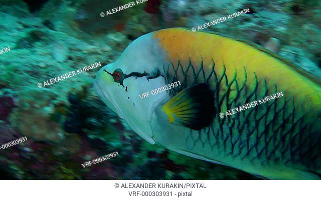 Sling-jaw wrasse (Epibulus insidiator) swim against the wall of the reef, then swim away, close up