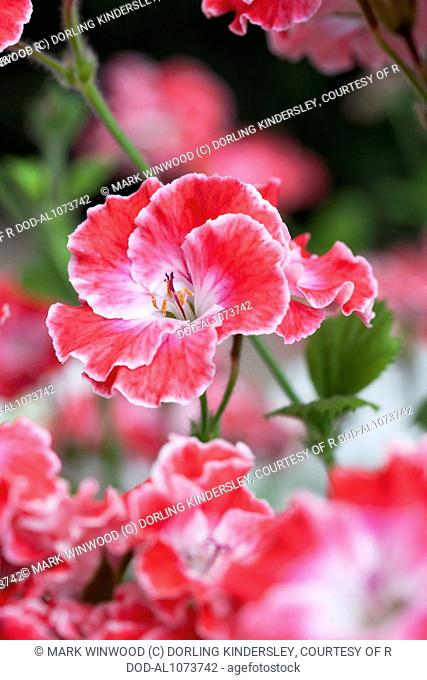 Pelargonium 'Joy'