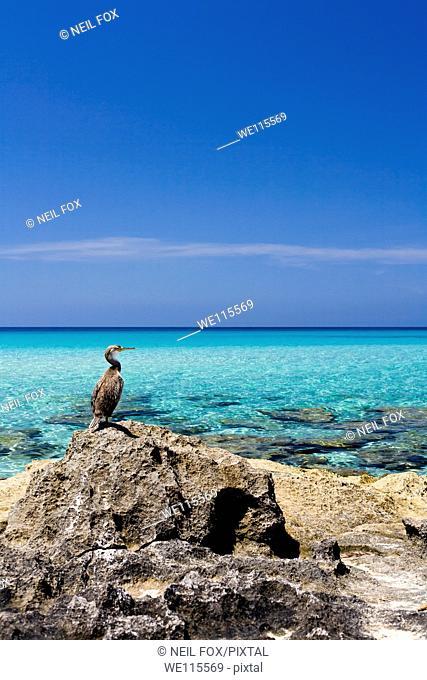 Cormorant, Phalacrocorax, Formentera