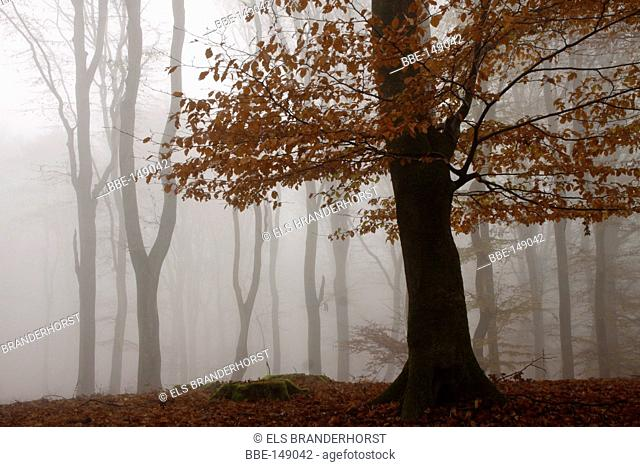 Beech with red autumn leaves with fog