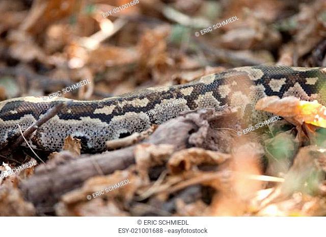 Python among leaves