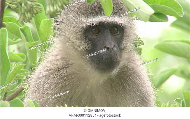 CU Vervet monkey / Vervet Monkey Foundation, Tzaneen, South Africa