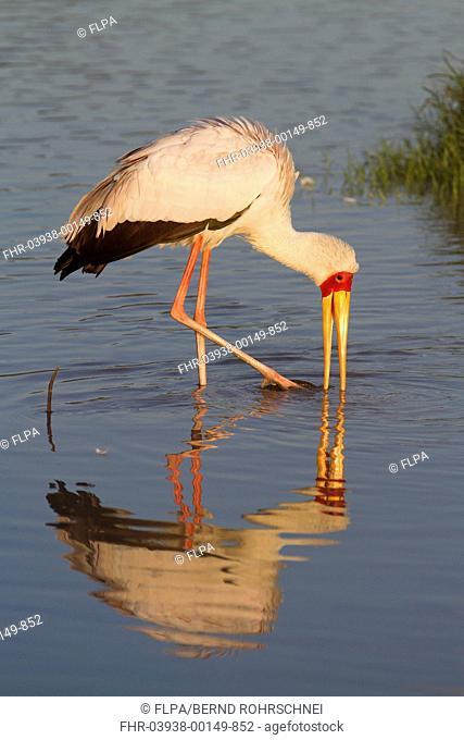 Yellow-billed Stork Mycteria ibis adult, foraging in lake, Lake Nakuru N P , Great Rift Valley, Kenya, August