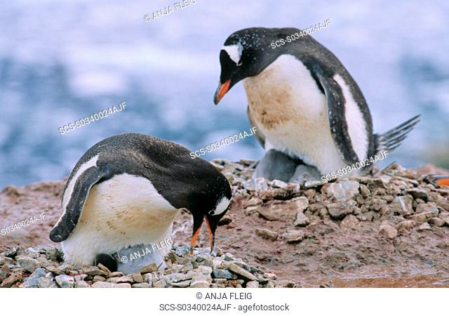 Two adult Gentoo Penguins Pygoscelis papua sitting both on their nests with chicks Neko Harbour, Antarctica
