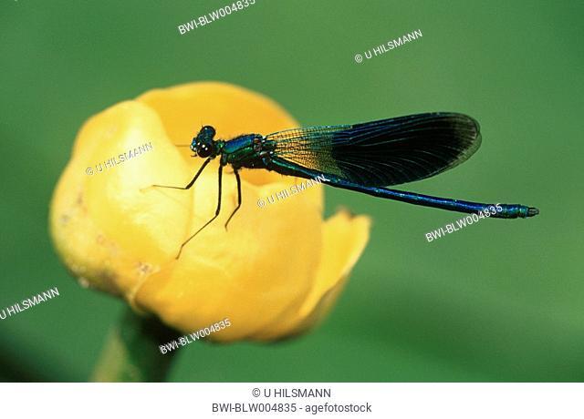 banded blackwings, banded agrion, banded demoiselle Calopteryx splendens, Agrion splendens, male