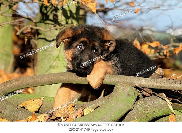 Dog German Shepherd Dog / Deutscher Schäferhund puppy lying on a wood