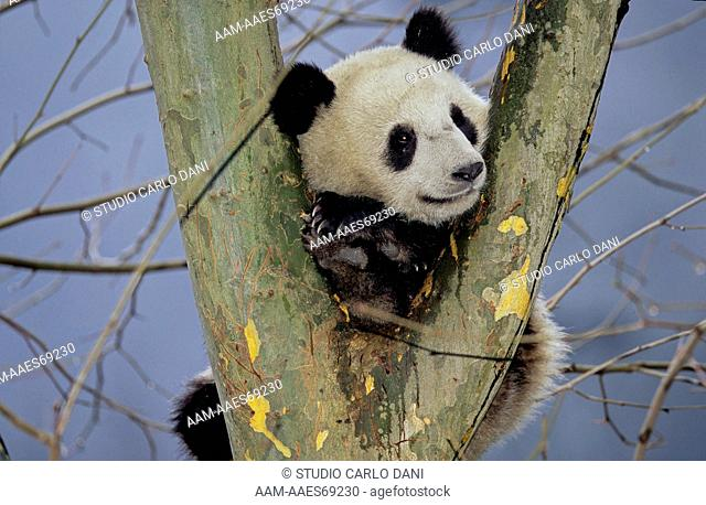 Giant Panda In Tree (Ailuropoda Melanoleuca), Wolong, Sichuan, China, Sichuan Giant Panda Sanctuary, Man & Biosphere Protected Area, Unesco