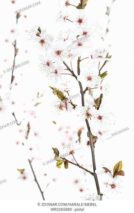 Blüten einer Blutpflaume (Prunus cerasifera Nigra)