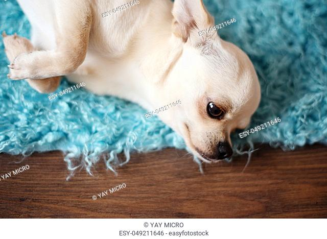 White chihuahua dog lying on a turquoise blue carpet, wood floor at home