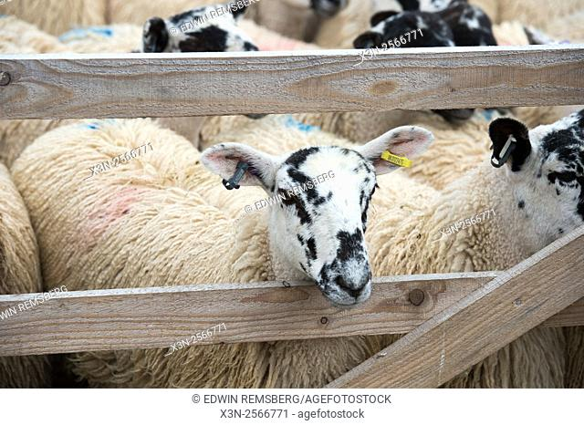 Pens of Mule Gimmer Lambs at the Hawes Auction Mart in Yorkshire, England