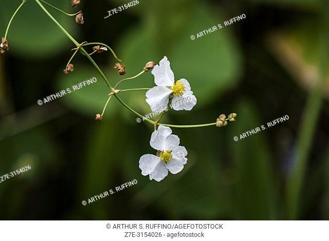 Arrowhead (Sagittaria lancifolia. Flora of the wetlands of South Florida. Florida, U. S. A. , North America